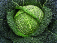 Cabbage F1 Wirosa  (Savoy) 20 seeds